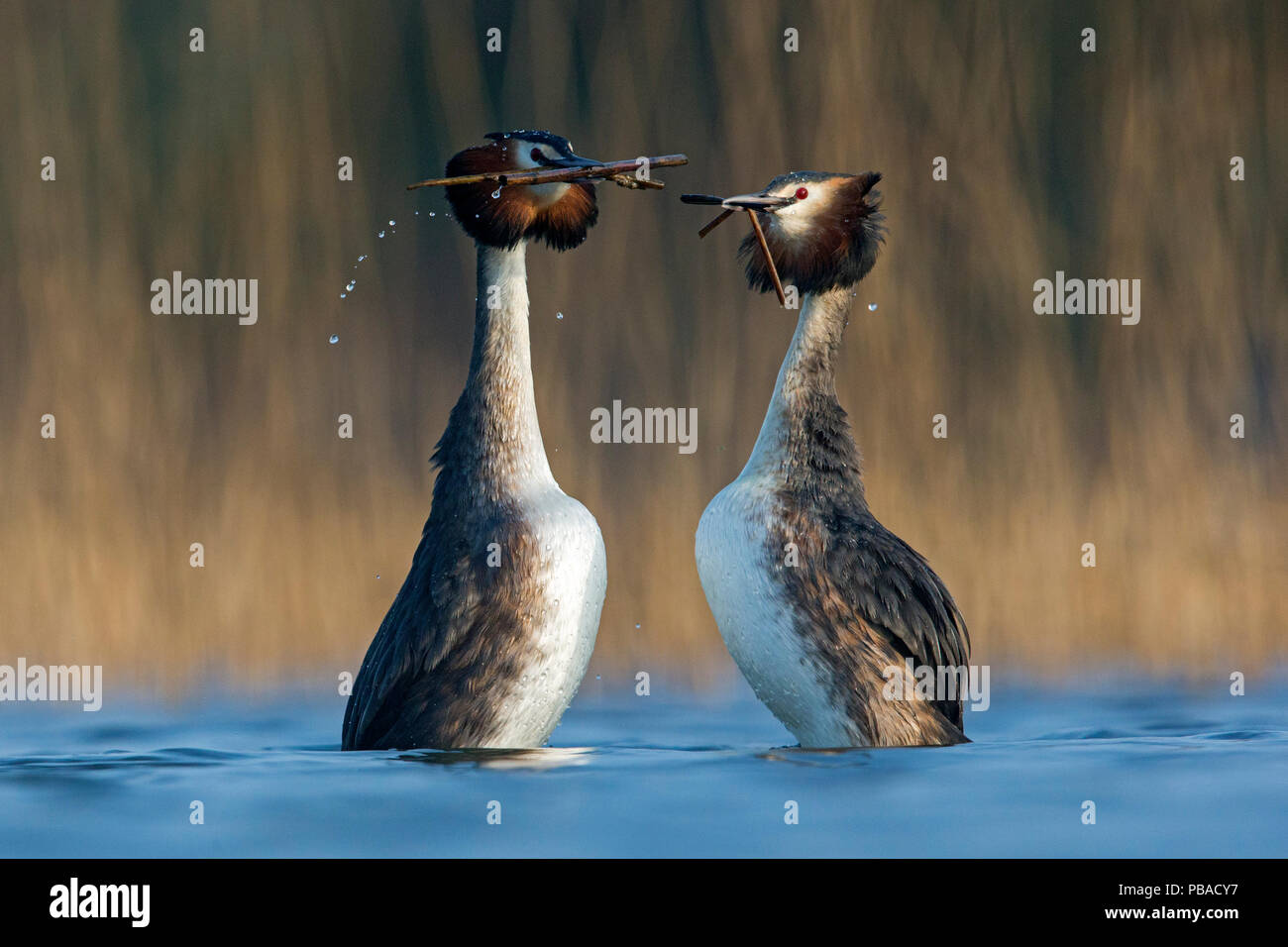 Great Crested Grebe (Podiceps cristatus) pair in courtship weed dance during courtship close to a reedbed. The Netherlands. April. - Stock Image