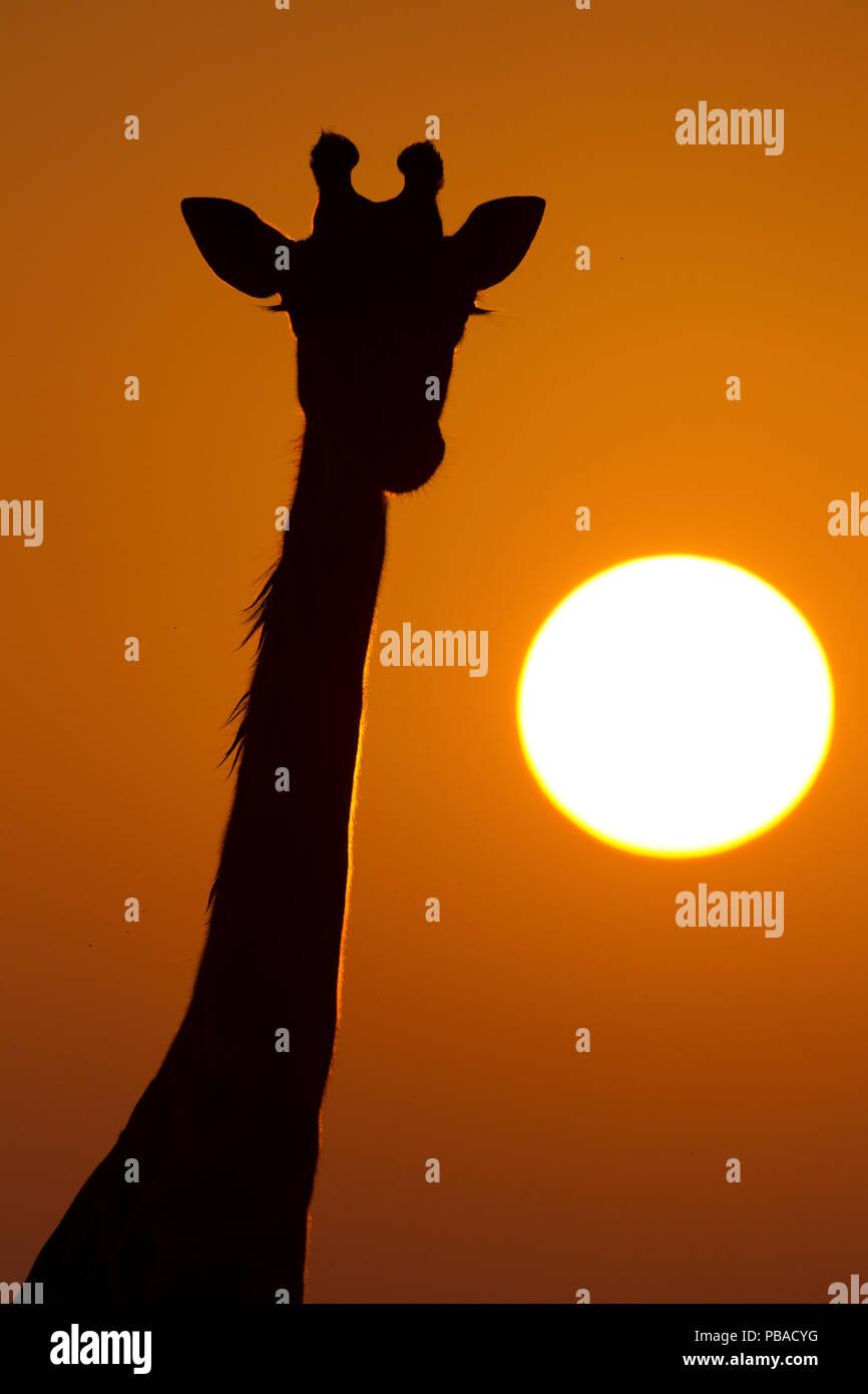 Giraffe (Giraffa camelopardalis) silhouetted at sunrise, Masai Mara, Kenya. - Stock Image