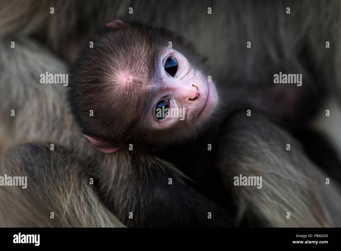 Southern plains grey langur / Hanuman langur (Semnopithecus dussumieri) infant aged a few days being held by its mother . Jodhpur, Rajasthan, India. March. - Stock Image