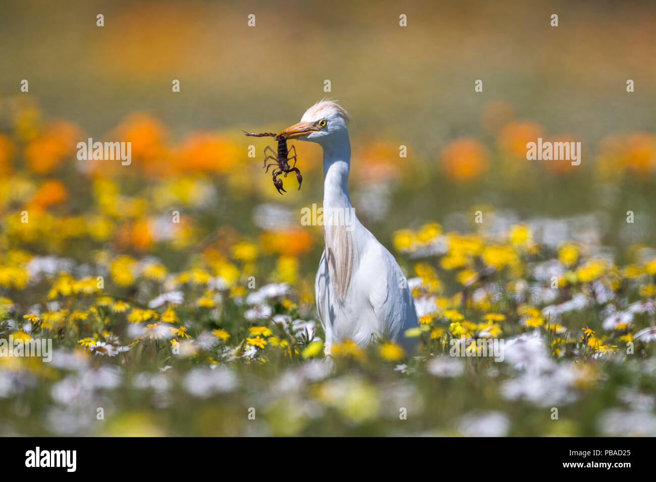 Western cattle egret (Bubulcus ibis) with scorpion prey, West Coast National Park, South Africa - Stock Image