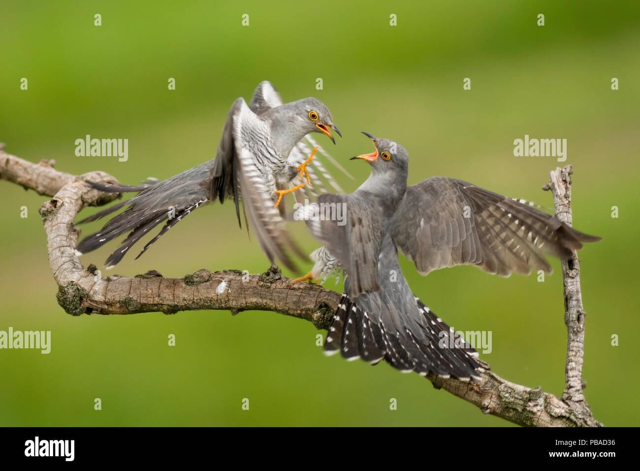 DUPLICATE Cuckoos (Cuculus canorus) squabbling, Kiskunsagi National Park, Pusztaszer, Hungary. February. - Stock Image