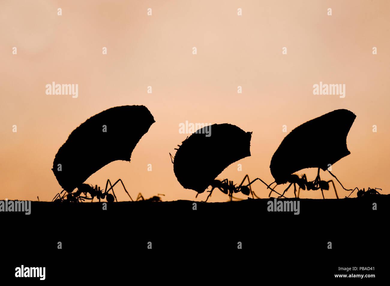 Leaf cutter ants (Atta sp) silhouetted carrying plant matter, Laguna del Lagarto, Santa Rita, Costa Rica - Stock Image