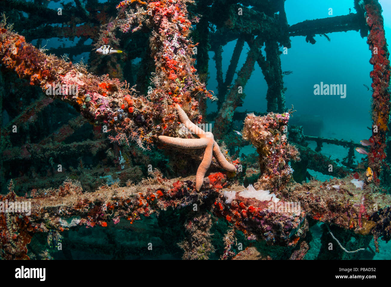 Artificial coral reef site with a Blue starfish (Linckia laevigata) Mabul, Malaysia. - Stock Image