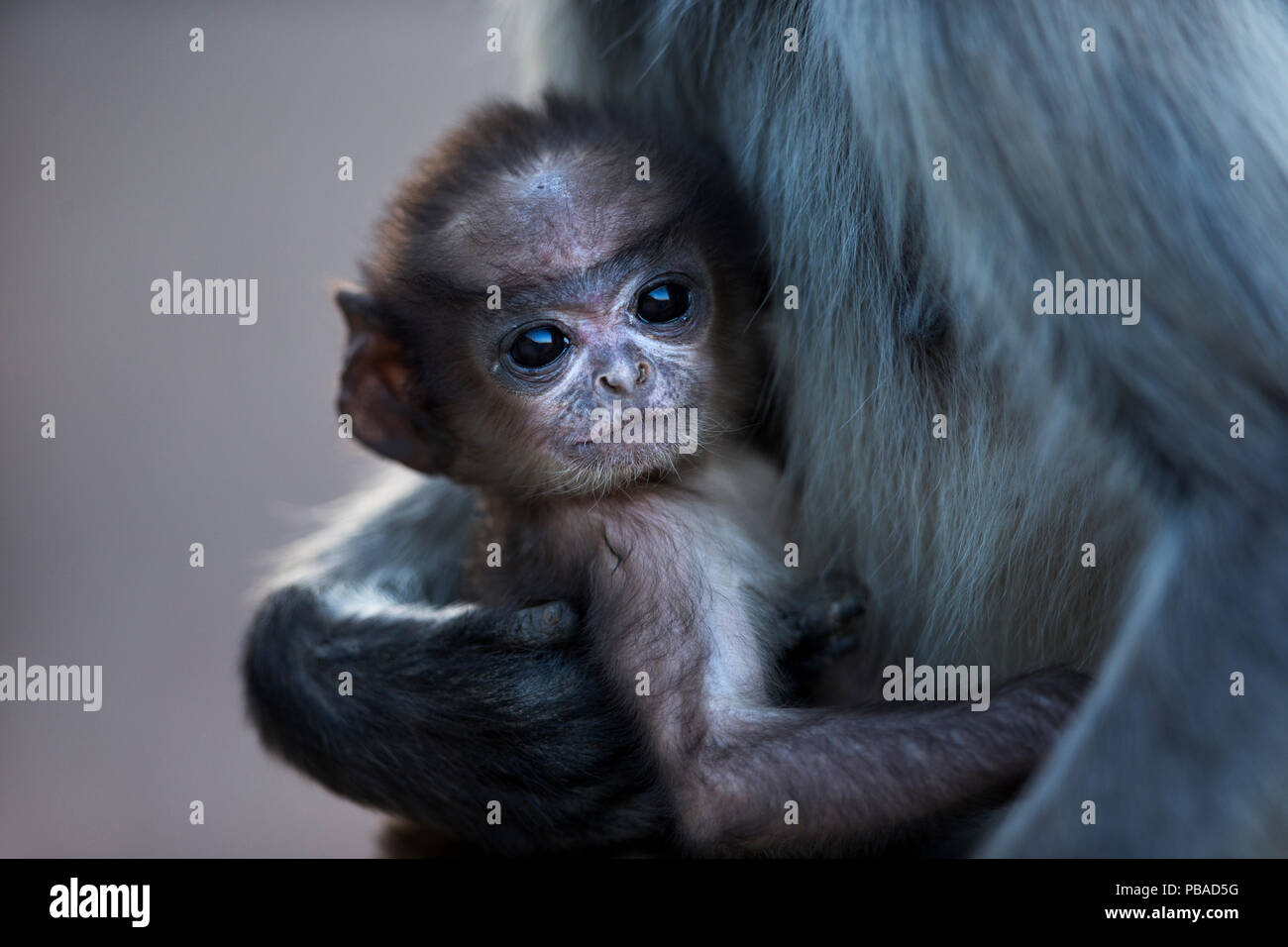 Southern plains grey langur / Hanuman langur (Semnopithecus dussumieri) infant aged a few weeks. Jodhpur, Rajasthan, India. March. - Stock Image