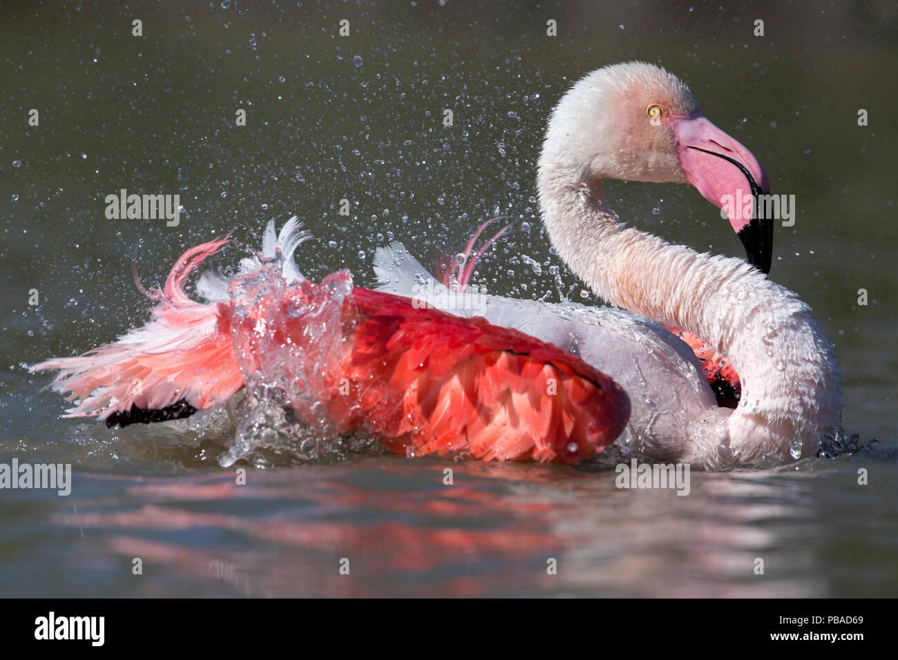 European flamingo (Phoenicopterus roseus) bathing Camargue, France, May. - Stock Image
