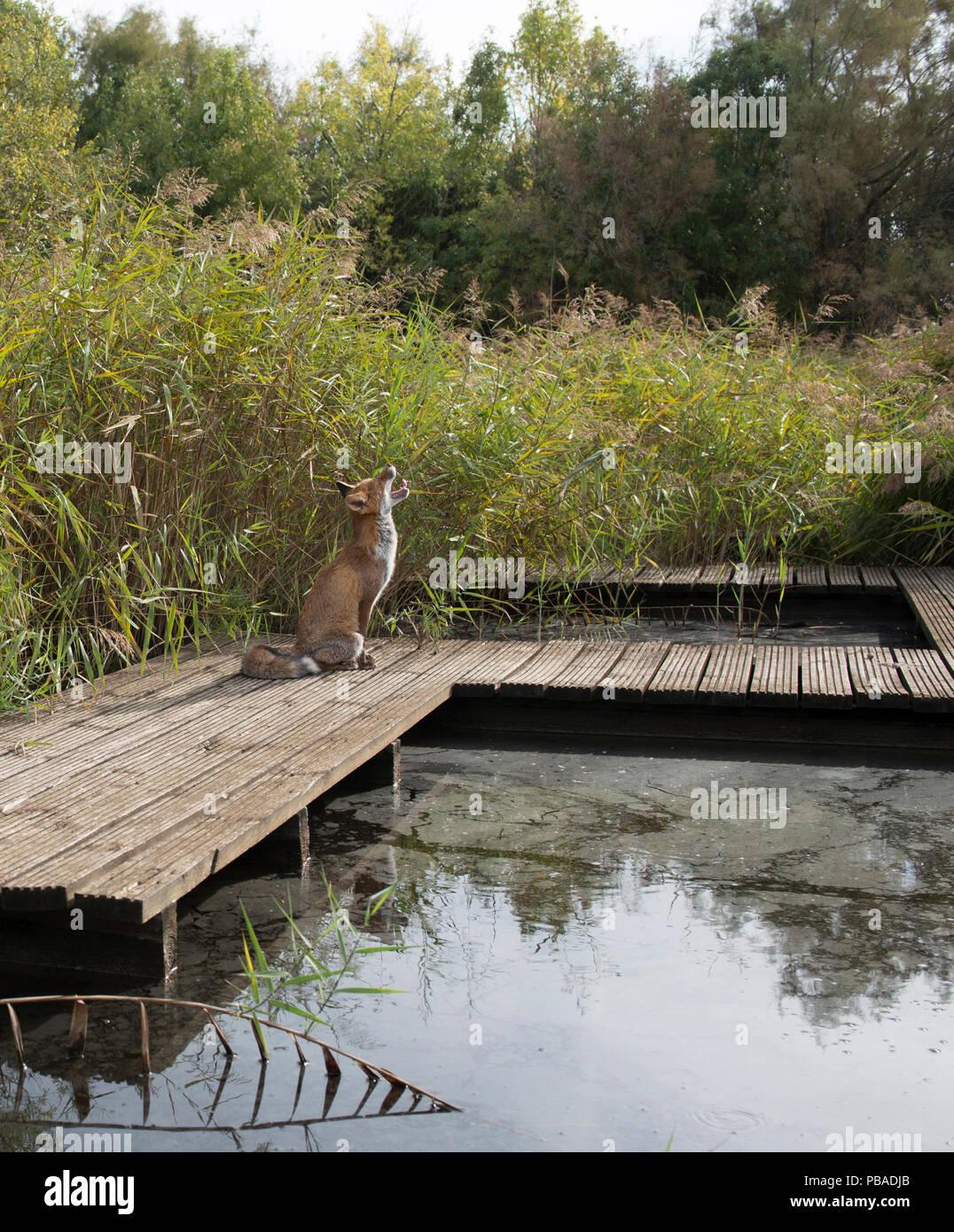 Red fox (Vulpes vulpes) sitting on board walk in marsh, Camargue, France, September. - Stock Image
