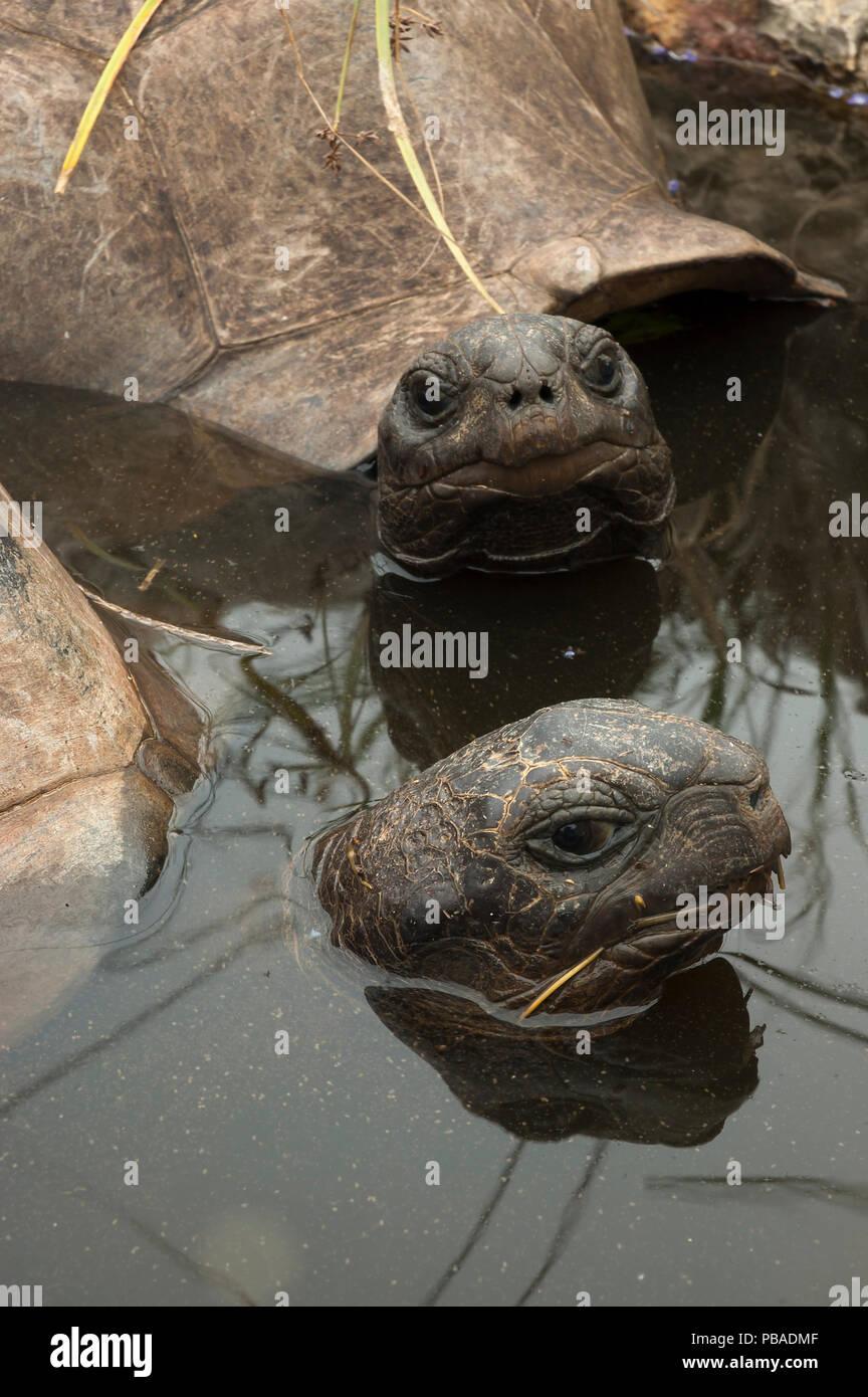 Aldabra Giant Tortoises (Aldabrachelys gigantea) resting in a pool to keep cool, Grand Terre, Natural World Heritage Site, Aldabra - Stock Image
