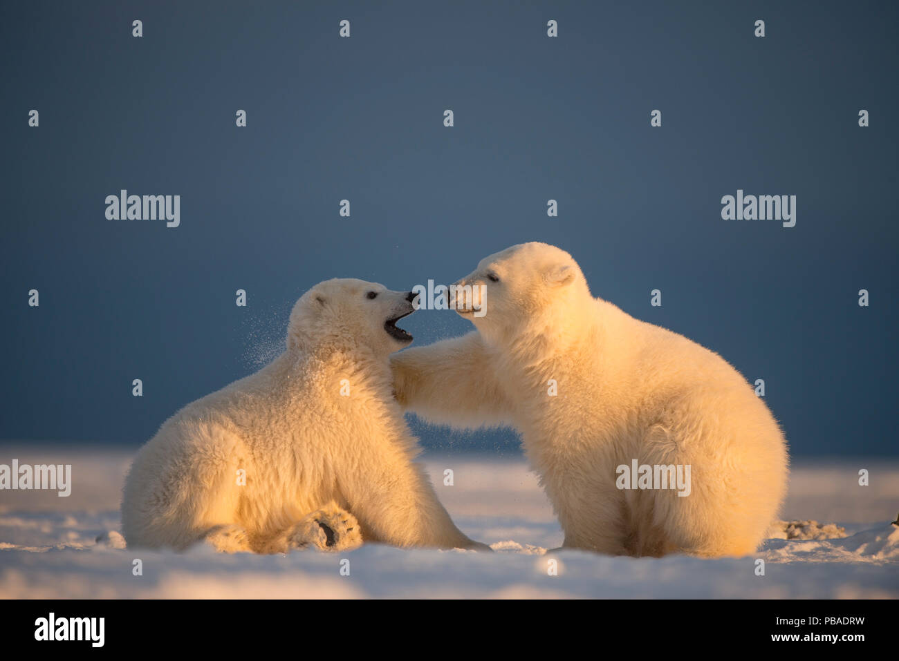Two Polar bear (Ursus maritimus) cubs playing, on newly formed pack ice, off the 1002 Area, Arctic National Wildlife Refuge, North Slope, Alaska, USA, October. Vulnerable species. - Stock Image