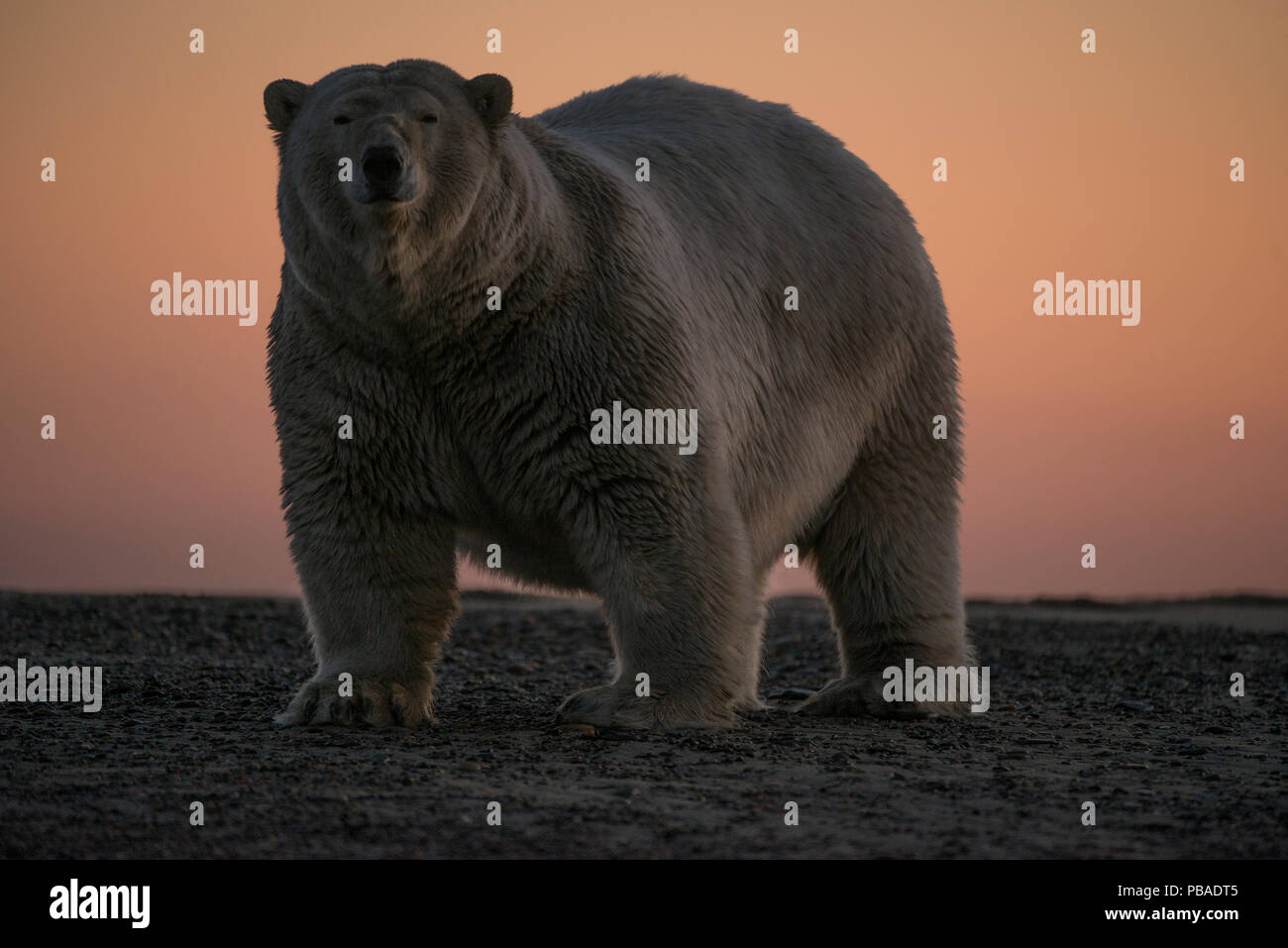Polar bear (Ursus maritimus) portrait against sky at sunset, Bernard Spit, off the 1002 Area, Arctic National Wildlife Refuge, North Slope, Alaska, USA, September. Vulnerable species. - Stock Image