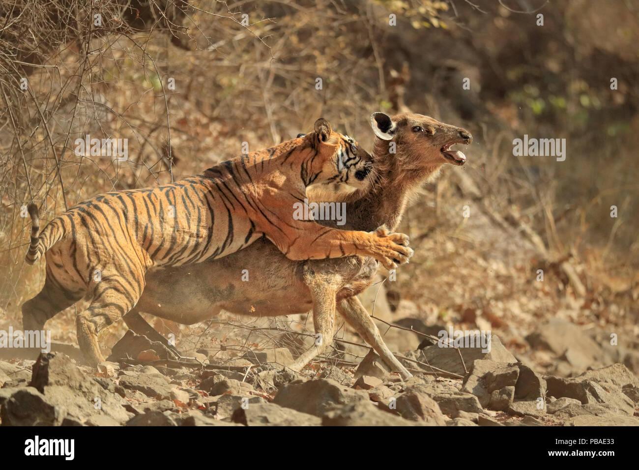 Bengal tiger (Panthera tigris tigris) female 'Noor T19' bringing down Sambar deer (Rusa unicolor) Ranthambhore, India. Sequence 6 of 18. - Stock Image