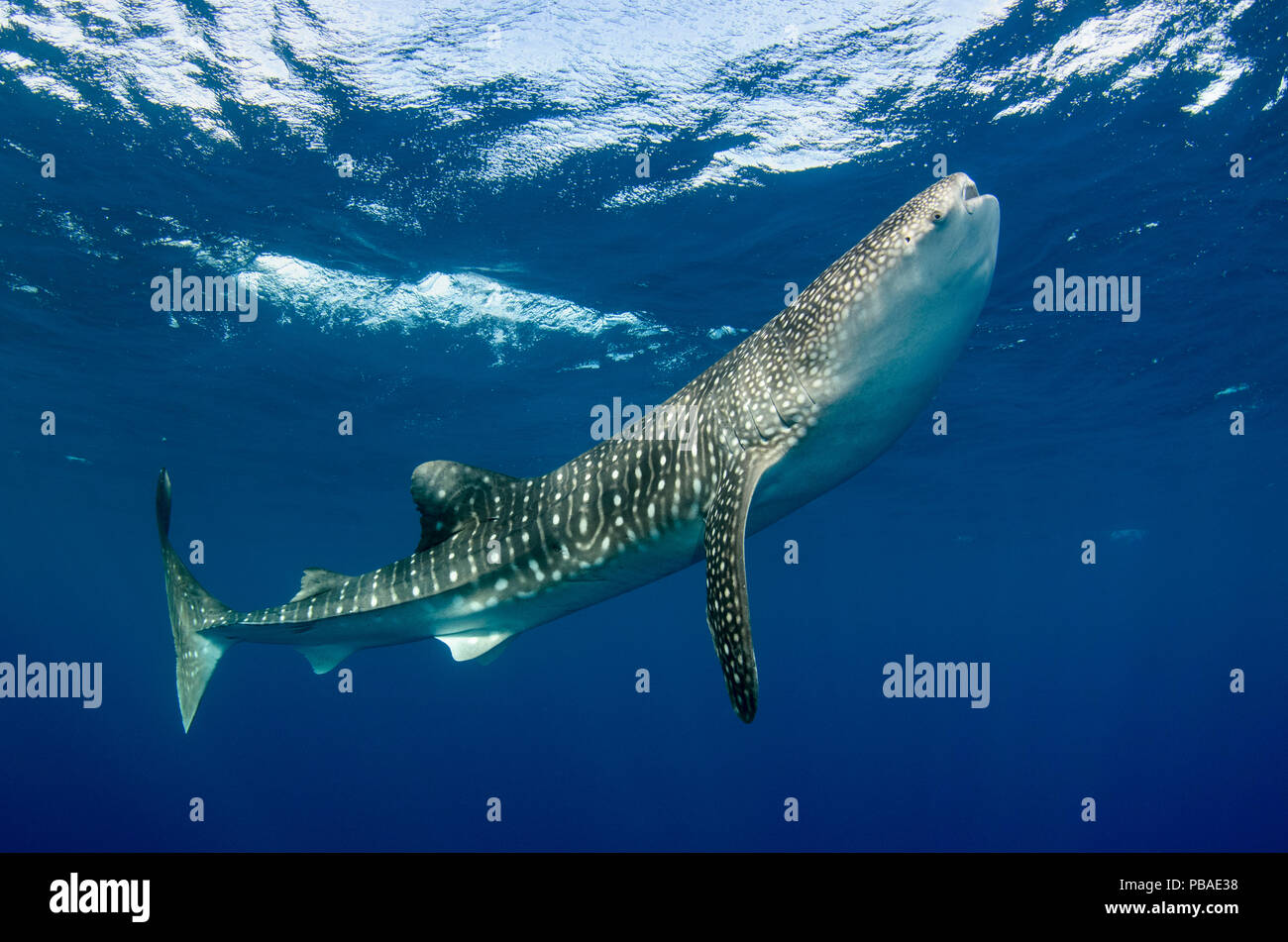 Whale shark (Rhincodon typus) Cenderawasih Bay, West Papua. Indonesia. - Stock Image