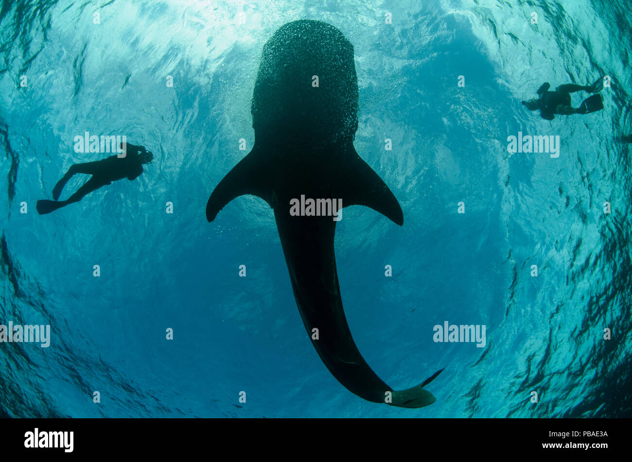 Whale shark (Rhincodon typus) and scuba divers seen from below, Cenderawasih Bay, West Papua. Indonesia. Stock Photo