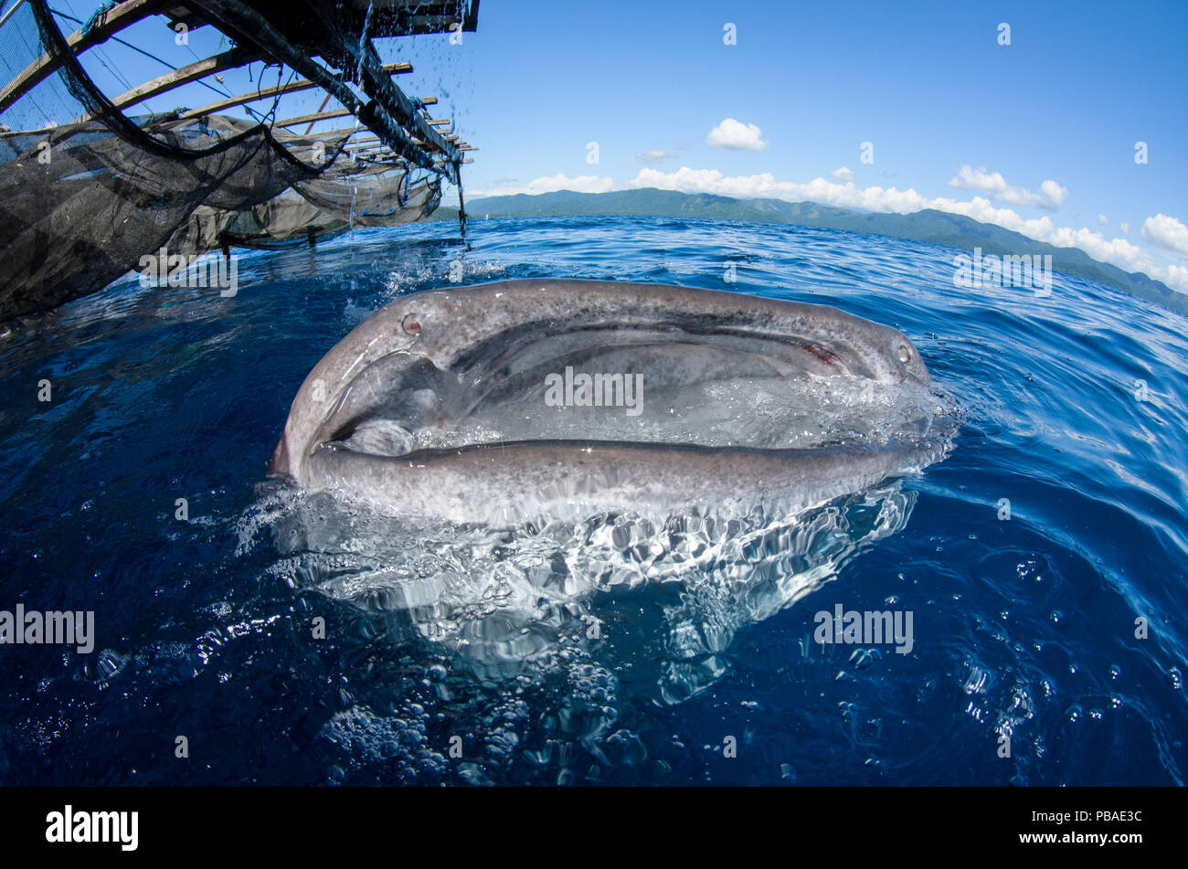 Whale Shark (Rhincodon typus) feeding at Bagan (floating fishing platform),  Cenderawasih Bay, West Papua, Indonesia. Winner of the Man and Nature Portfolio Award in the Terre Sauvage Nature Images Awards Competition 2015. Stock Photo