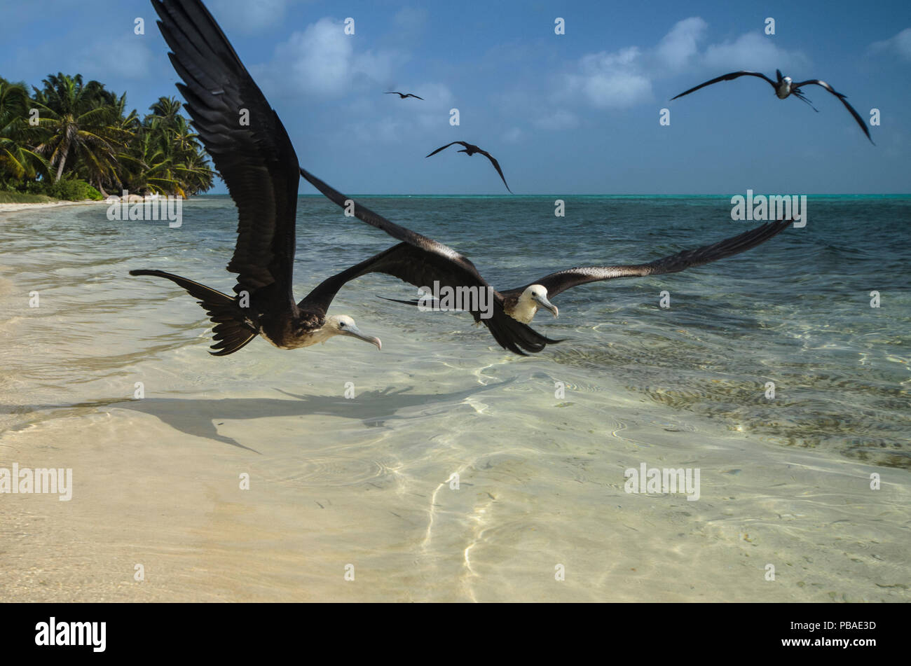 Magnificent frigatebirds (Fregata magnificens) in flight over shallow water, Halfmoon Caye, Lighthouse Reef Atoll, Belize. - Stock Image
