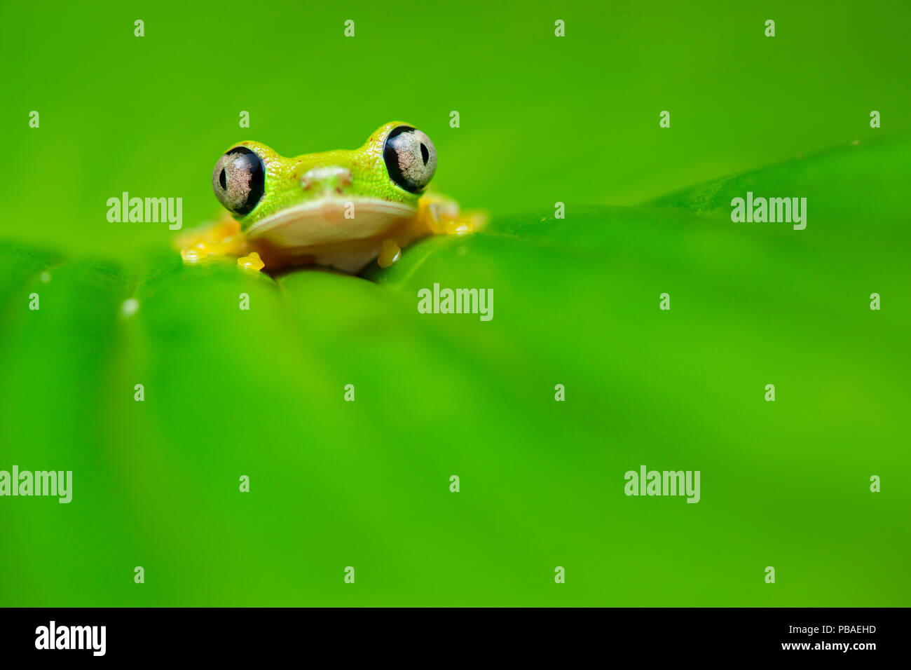 Lemur leaf frog (Agalychnis lemur) Central Caribbean foothills, Costa Rica. IUCN Red List critically endangered species. - Stock Image