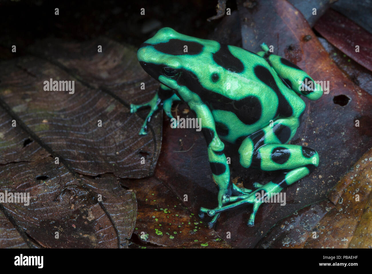 Green and black poison frog (Dendrobates auratus) Central Caribbean foothills, Costa Rica Stock Photo