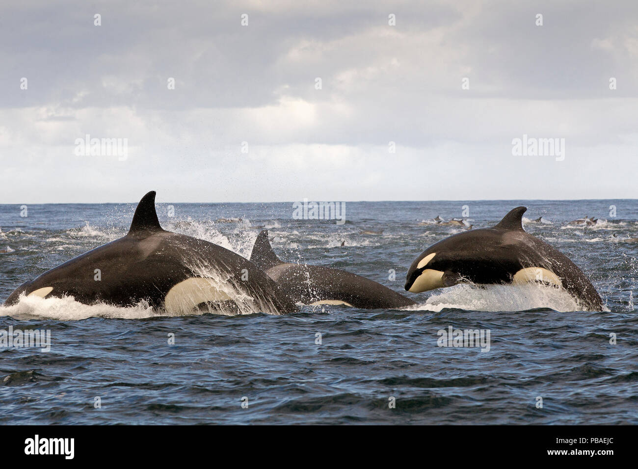Orca (Orcinus orca) pod hunting Common dolphin at surface, False Bay, South Africa, April. - Stock Image