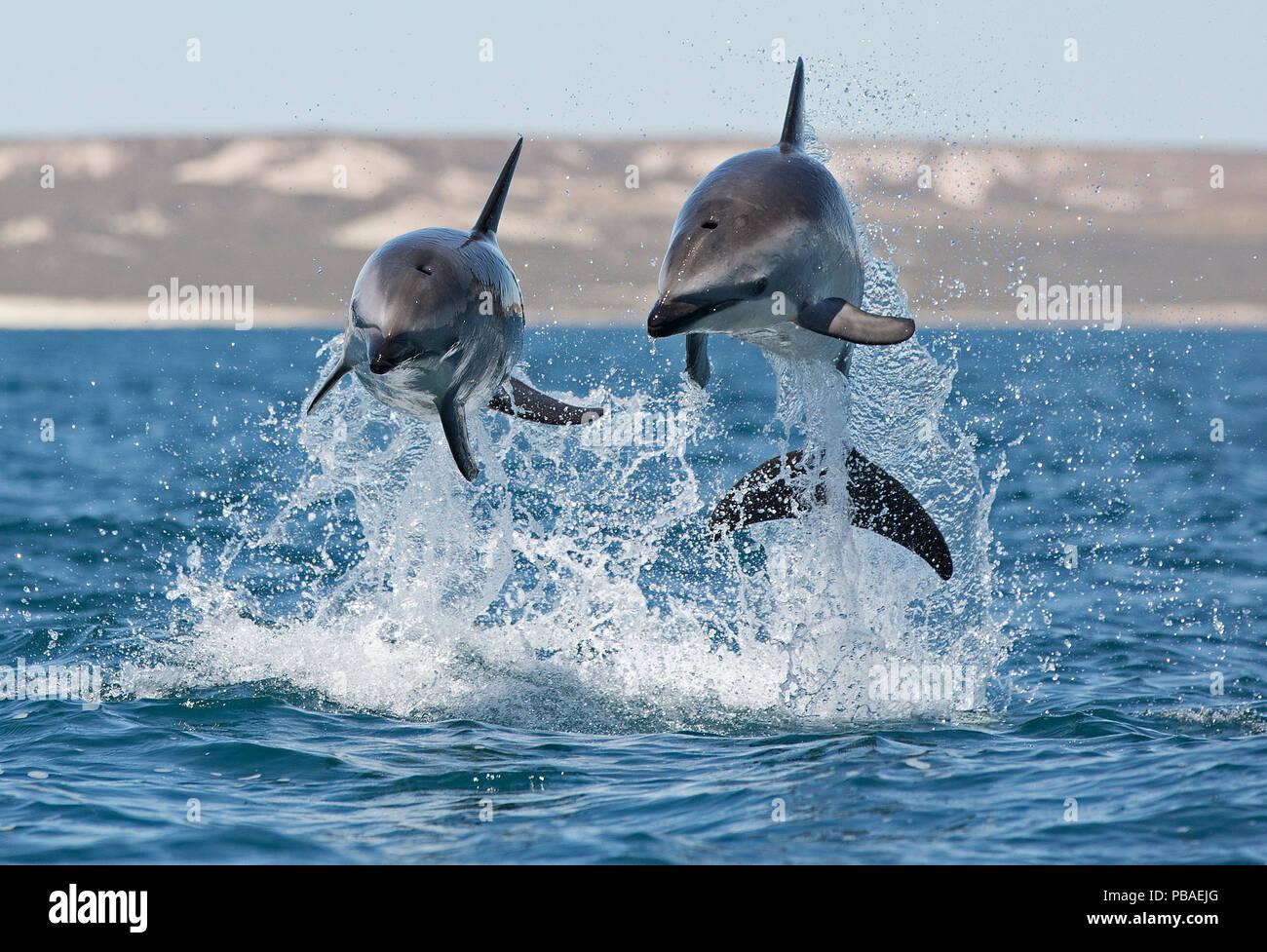 Dusky dolphins (Lagenorhynchus obscurus) porpoising, Puerto Madryn, Peninsula Valdez, Argentina, December. - Stock Image