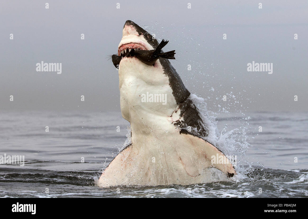 Great white shark (Carcharodon carcharias) leaping out of water to predate seal, Seal Island, False Bay, South Africa, July. - Stock Image