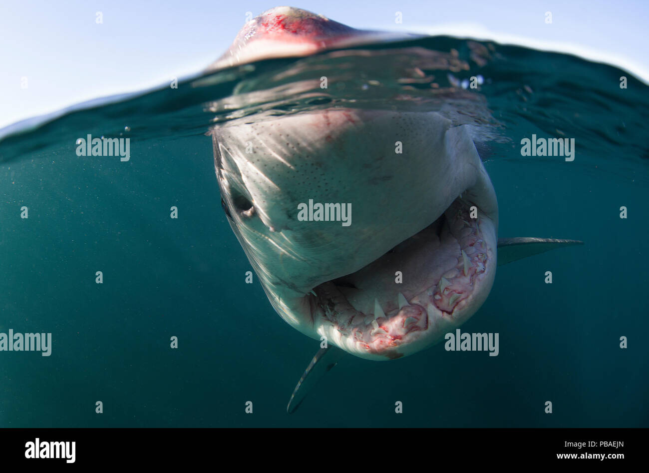 Great white shark (Carcharodon carcharias) split level view, New Zealand, March. - Stock Image