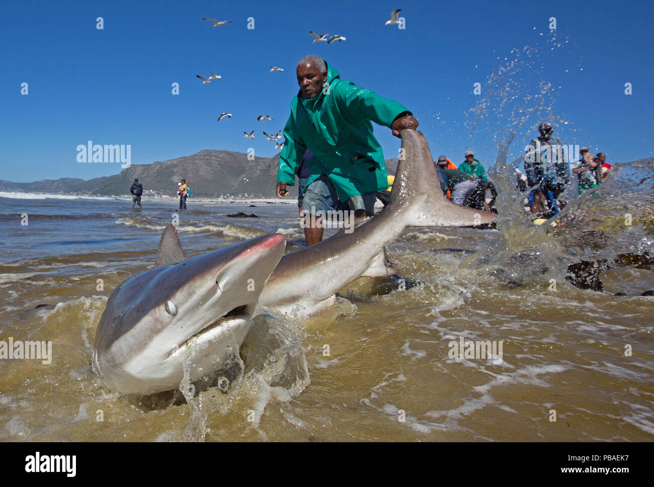 Bronze whaler shark (Carcharhinus brachyurus), caught in traditional seine net and released by fisherman, Muizenberg beach, Cape Town, South Africa, January 2014 - Stock Image