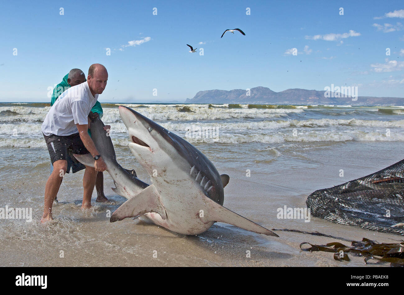 Bronze whaler shark (Carcharhinus brachyurus), caught in traditional seine net and released by fisherman, Muizenberg beach, Cape Town, South Africa, January. - Stock Image