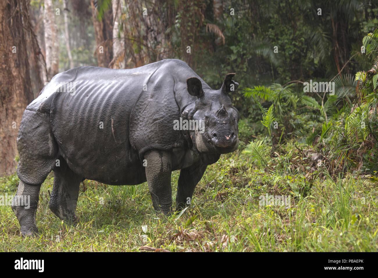 Indian rhinoceros (Rhinoceros unicornis) male after rainfall, Kaziranga National Park, India. - Stock Image