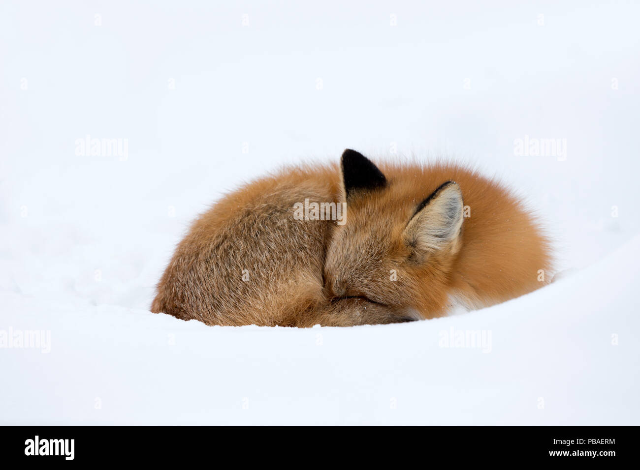 Red Fox (Vulpes vulpes) asleep in the snow, Churchill, Cananda, November - Stock Image