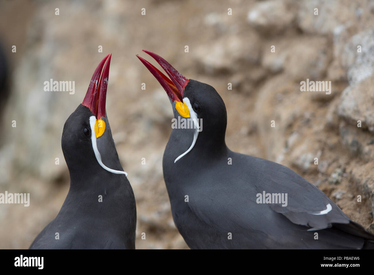 Inca tern (Larosterna inca) male and female in courtship display, guano island, Pescadores, Peru Stock Photo