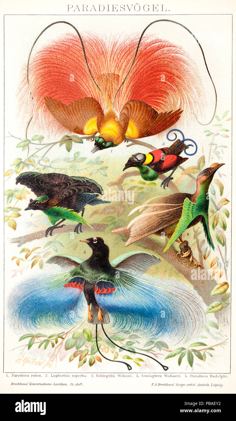 Historical illustration showing the displays of various birds of paradise: Red bird-of-paradise (Paradisea rubra),Superb bird of paradise (Lophorina superba),Wilson's bird of paradise (Cicinnurus respublica) and Blue bird-of-paradise (Paradisaea rudolphi).Chromolithograph from Brockhaus' Konversations-lexikon Autorenkollektiv,F.A.Brockhaus in Leipzig,Berlin und Wien,14.Auflage,1894-1896.The display poses for these birds are not accurate  as they were only known from specimens.Red bird-of-paradise is in the pose of Goldie's bird of paradise, - Stock Image