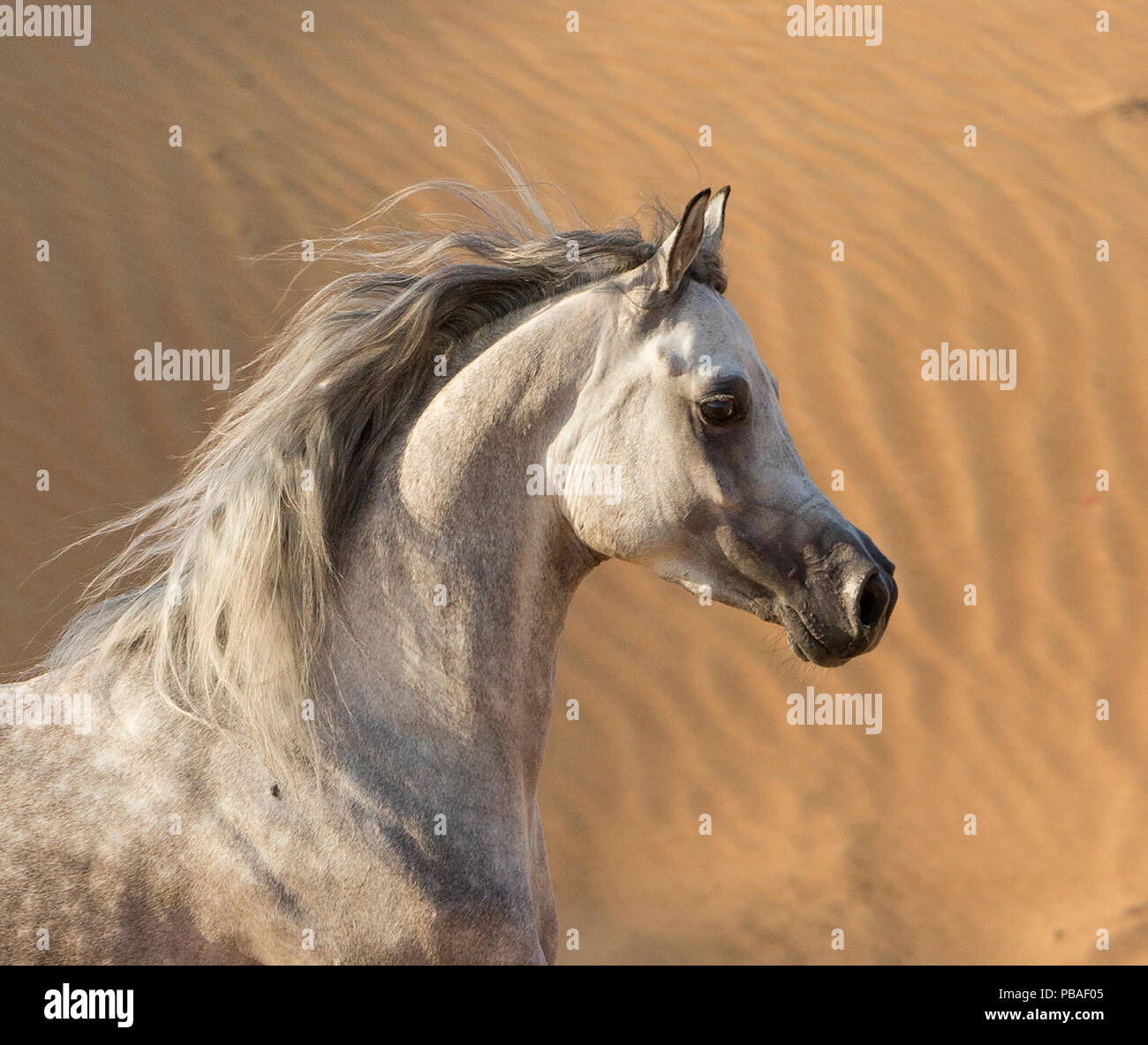 Head portrait of grey Arabian stallion running in desert dunes near Dubai, United Arab Emirates. - Stock Image