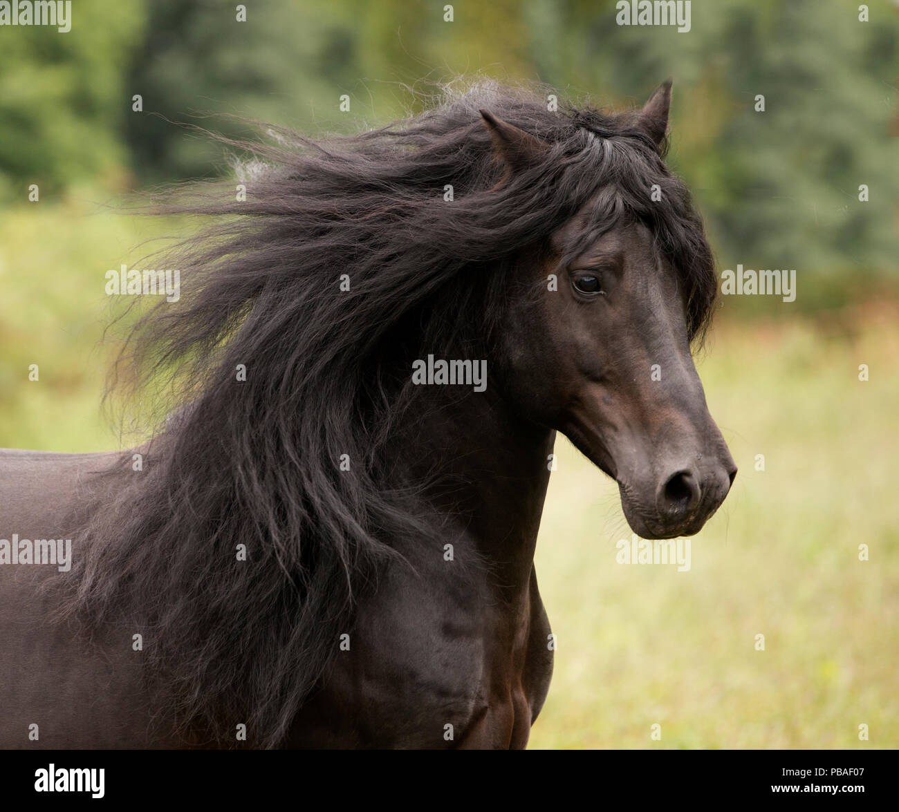 Head portrait of black Merens stallion with long mane running in pasture. Northern France, Europe. February. - Stock Image