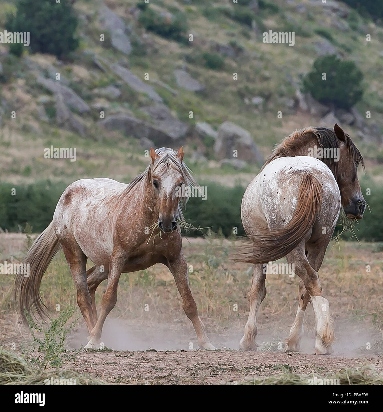 Two formerly wild Mustang stallions posture at Black Hills Wild Horse Sanctuary, South Dakota, USA. September. - Stock Image