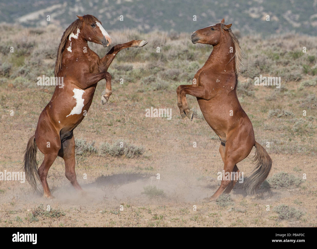 Two wild pinto Mustang stallions battle for dominance in Sand Wash Basin, Colorado, USA. - Stock Image