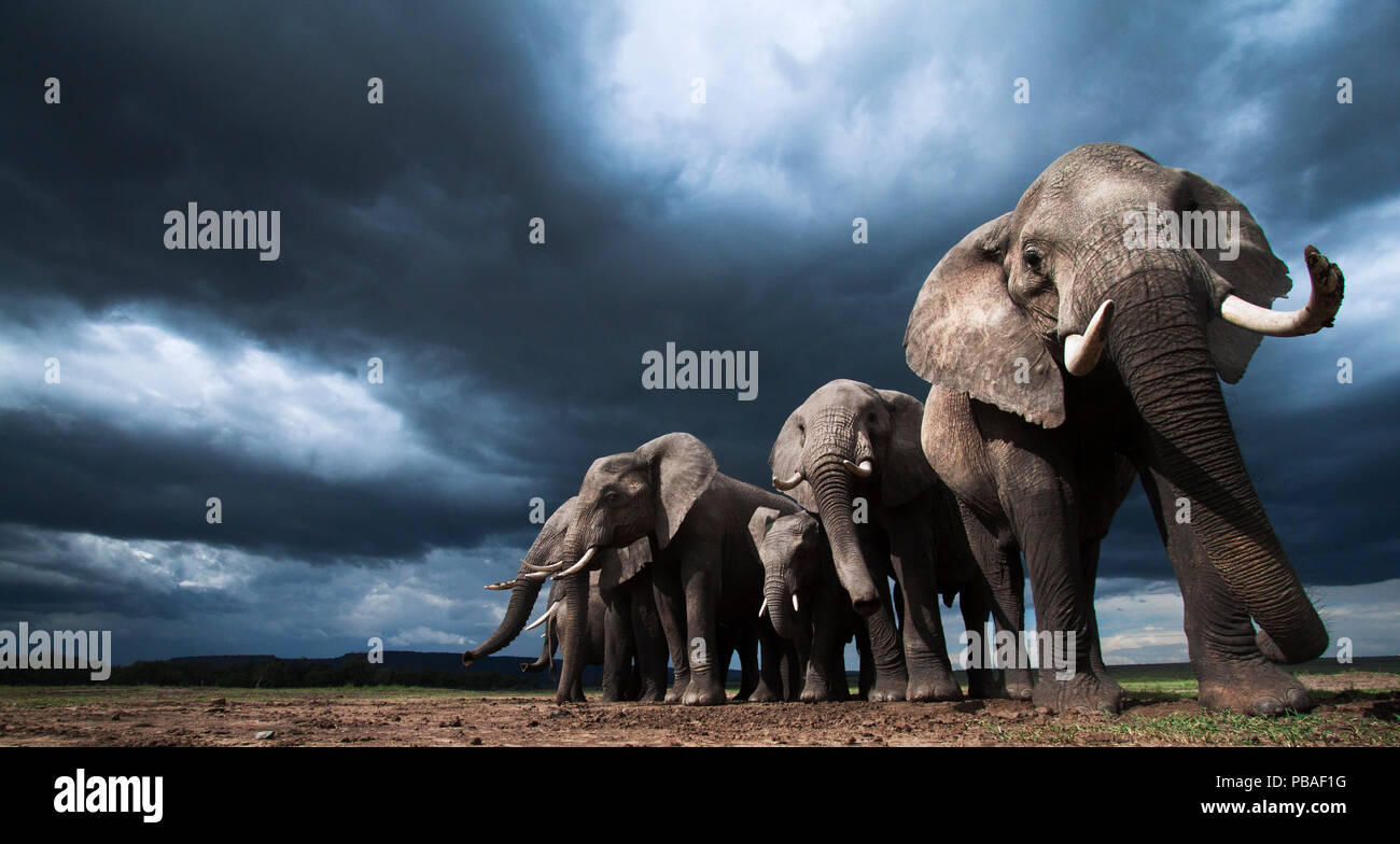 African elephants (Loxodonta africana) family herd feeding on loose soil for its minerals, with dramatic stormy skies behind, Maasai Mara National Reserve, Kenya.  Taken with remote wide angle camera. - Stock Image
