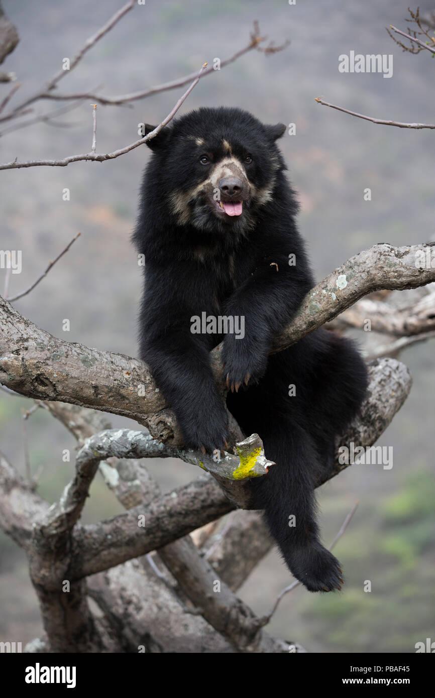 Spectacled bear (Tremarctos ornatus) up tree, Chaparri Ecological Reserve, Peru Stock Photo