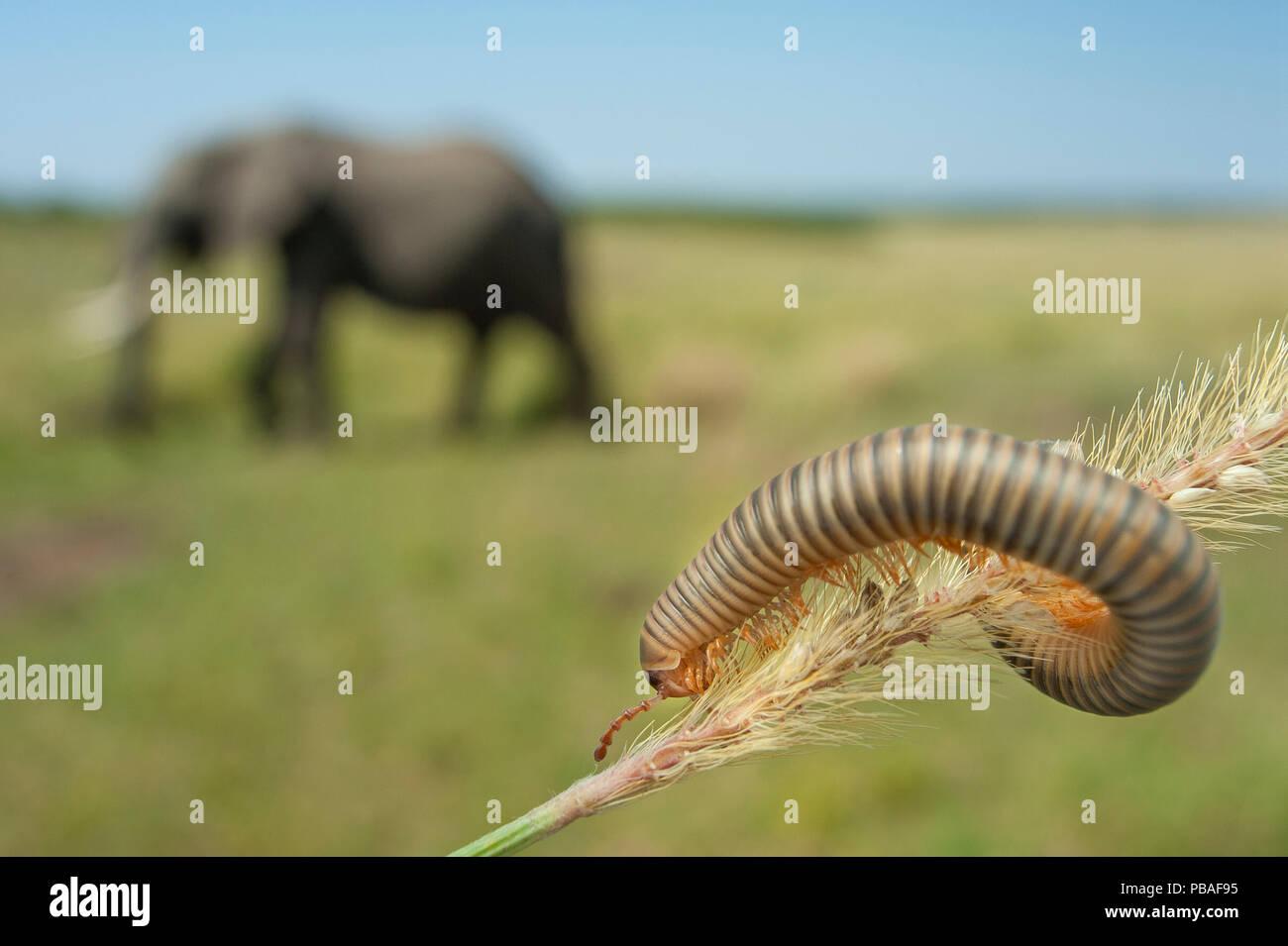 Millipede (Myriapoda) on grass blade, with African elephant (Loxodonta africana) in background Masai Mara National Park, Kenya. - Stock Image