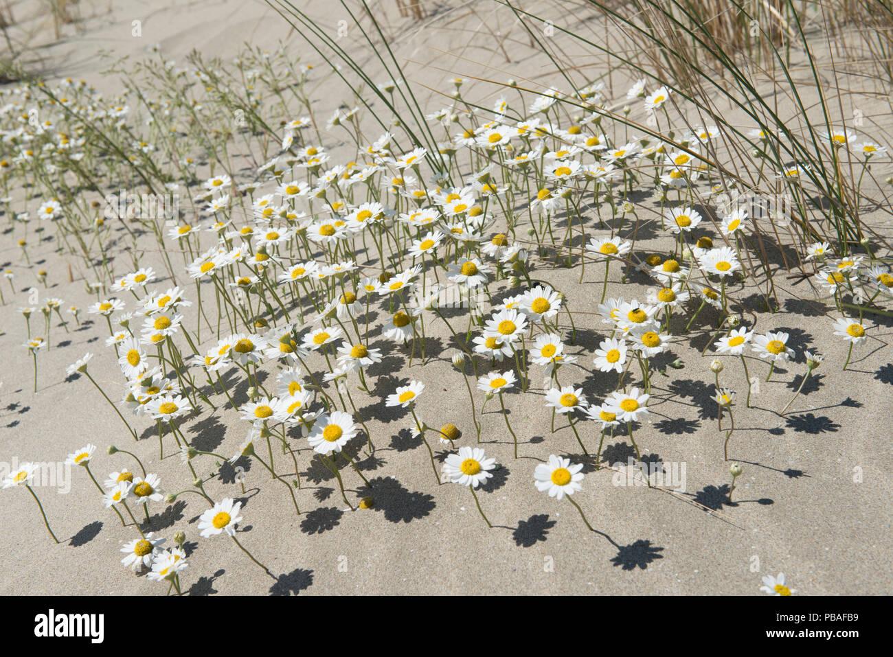 Sea chamomile (Anthemis maritima) in sand dunes, Camargue, France, May. - Stock Image