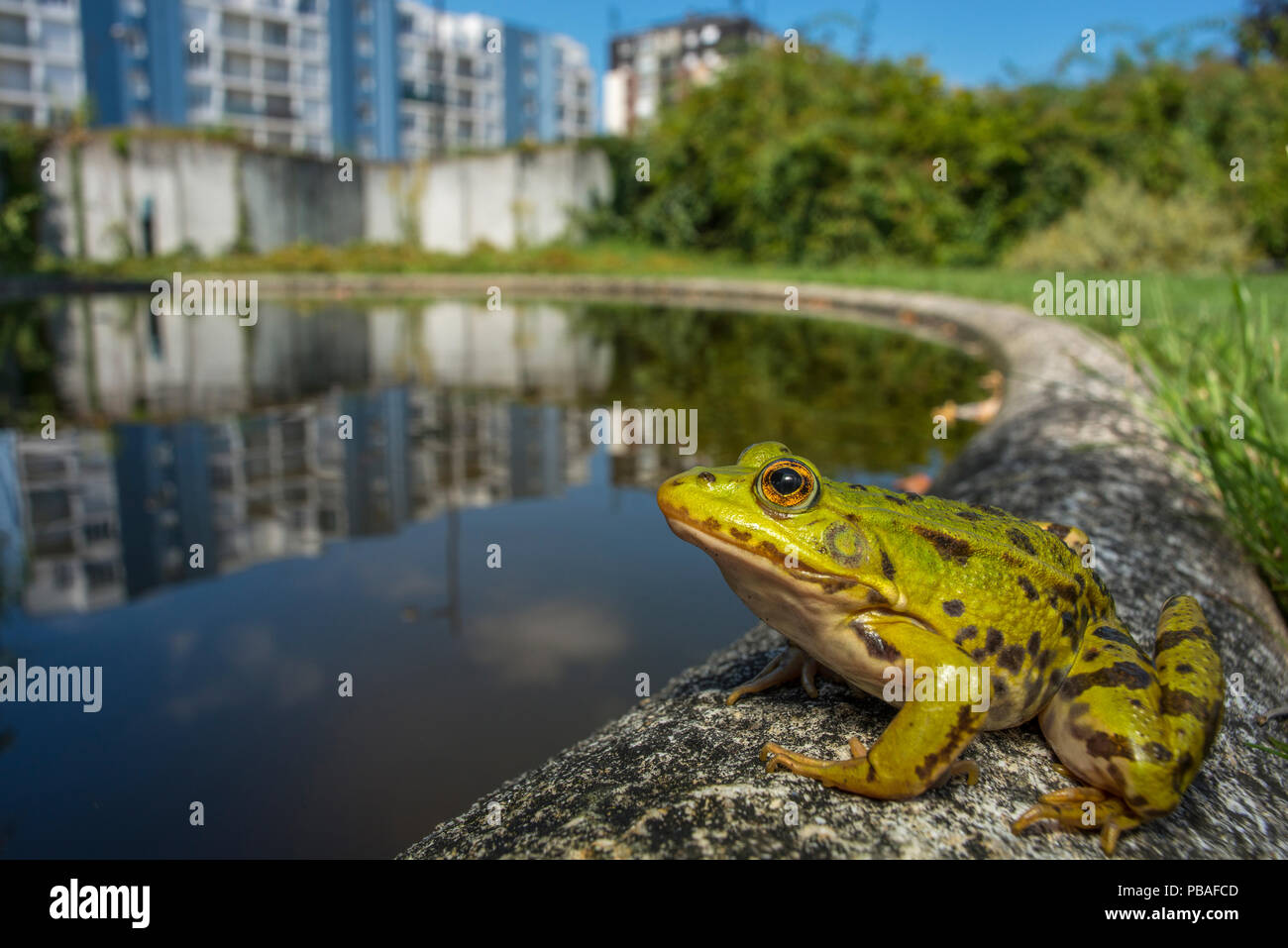 European edible frog (Rana esculenta) in urban park, next to pond with buildings in distance, Grenoble, France, May. - Stock Image