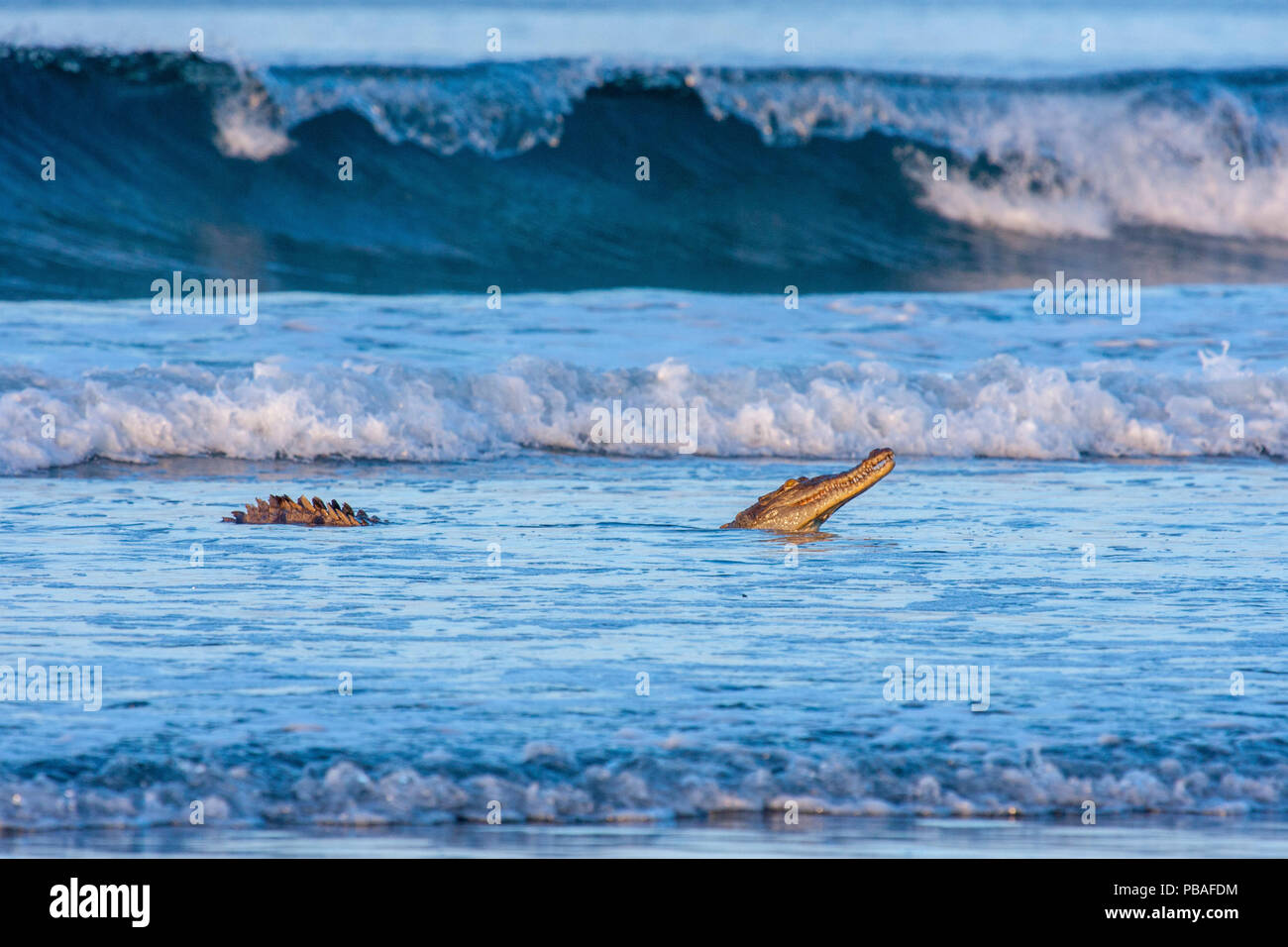 American crocodile (Crocodylus acutus) hunting hatchling Olive Ridley turtles. in the shallows of Nancite Beach, Santa Rosa National Park, Costa Rica. - Stock Image