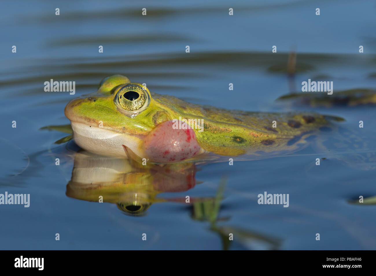 Edible frog (Rana esculenta) male calling at pond surface, Klein Schietveld, Brasschaat, Belgium May - Stock Image