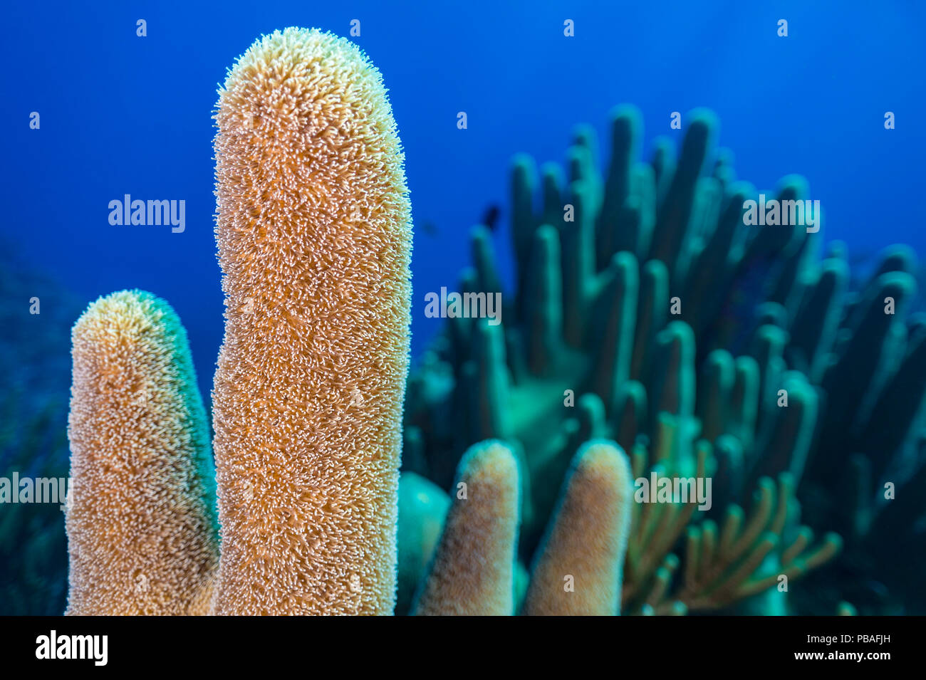 A stand of Pillar coral (Dendrogyra cylindrus) growing on a coral reef, East End, Grand Cayman, Cayman Islands - Stock Image