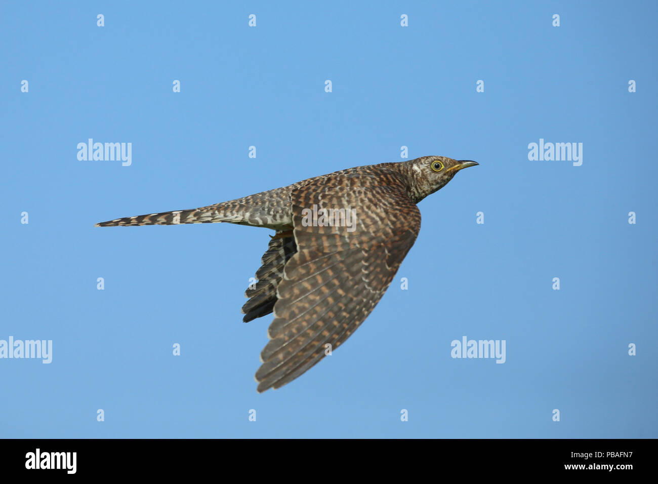Common cuckoo (Cuculus canorus) in flight, Oman, November - Stock Image