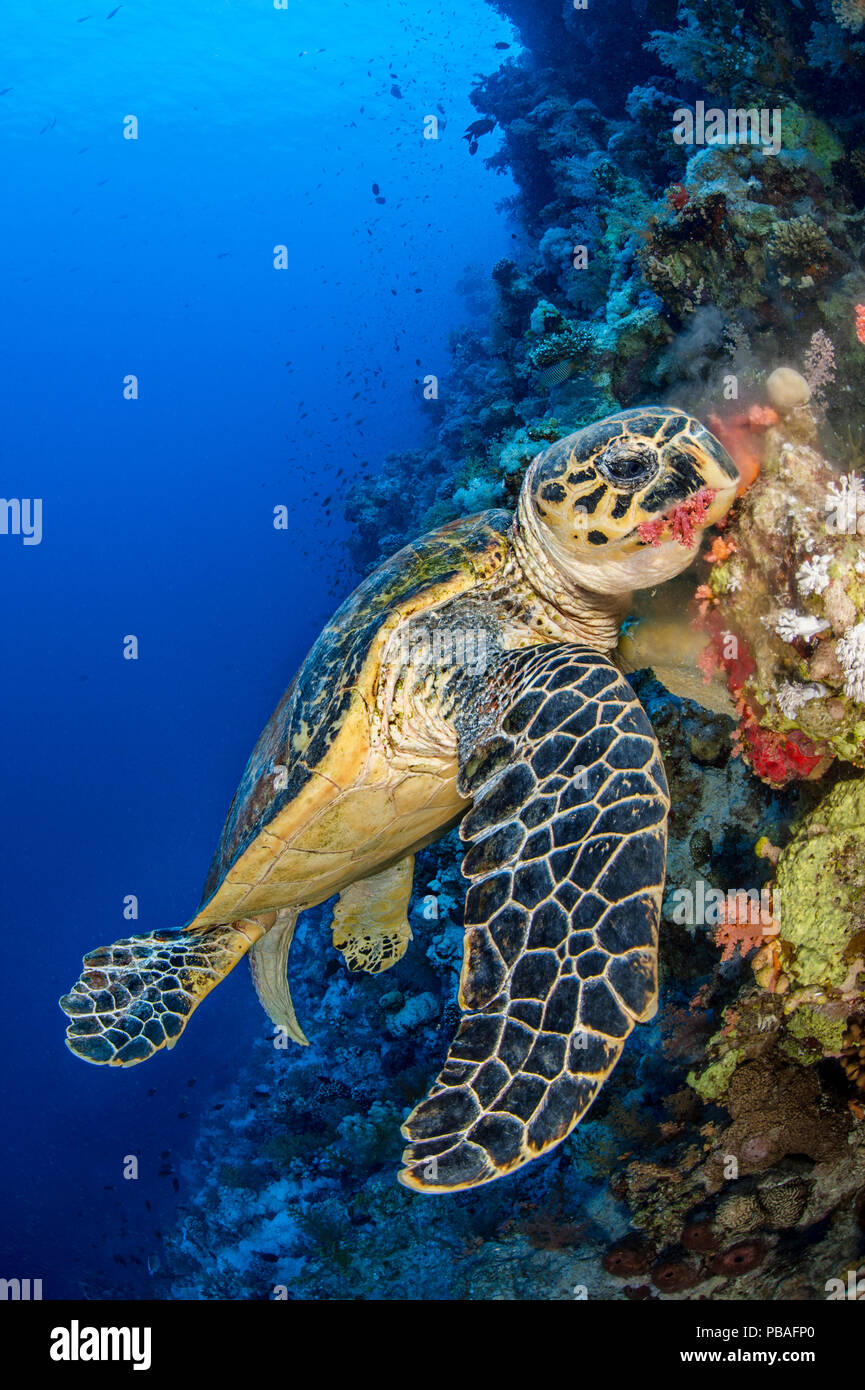 Hawksbill turtle (Eretmochelys imbricata) male chomps on soft coral. Jackson Reef, Sinai, Egypt. Strait of Tiran, Red Sea. - Stock Image