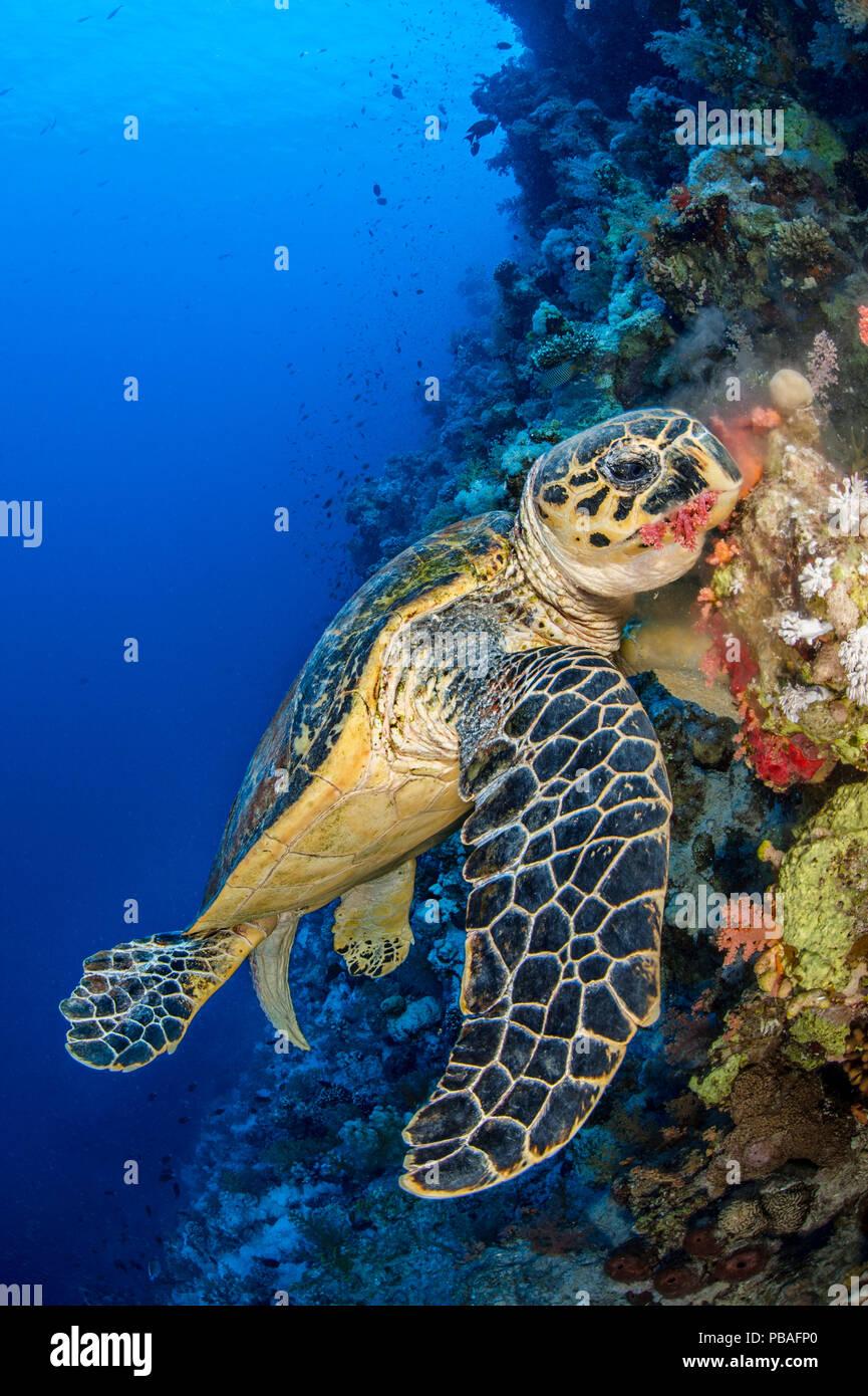 Hawksbill turtle (Eretmochelys imbricata) male chomps on soft coral. Jackson Reef, Sinai, Egypt. Strait of Tiran, Red Sea. Stock Photo