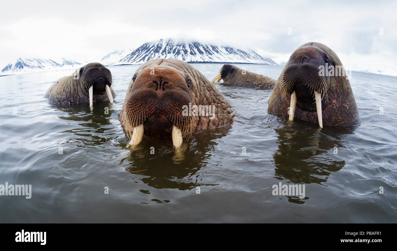 Atlantic walruses (Odobenus rosmarus rosmarus) hanging out in shallow water in Svalbard,, Norway, June - Stock Image
