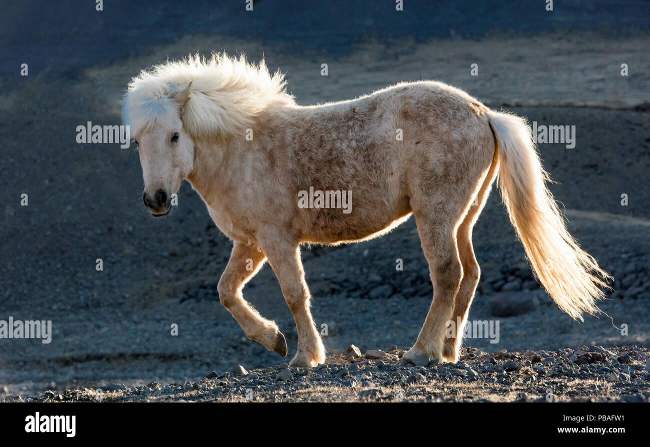 Icelandic horse, Snaefellnes, Iceland. - Stock Image