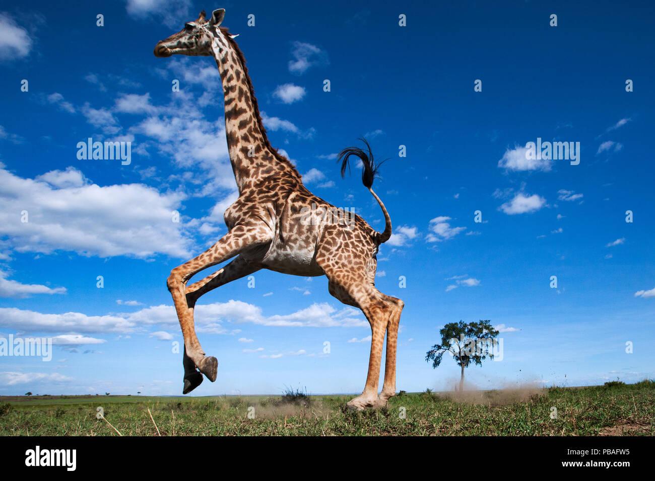 Maasai giraffe (Giraffa camelopardalis tippelskirchi) running away startled - remote camera perspective . Maasai Mara National Reserve, Kenya. - Stock Image