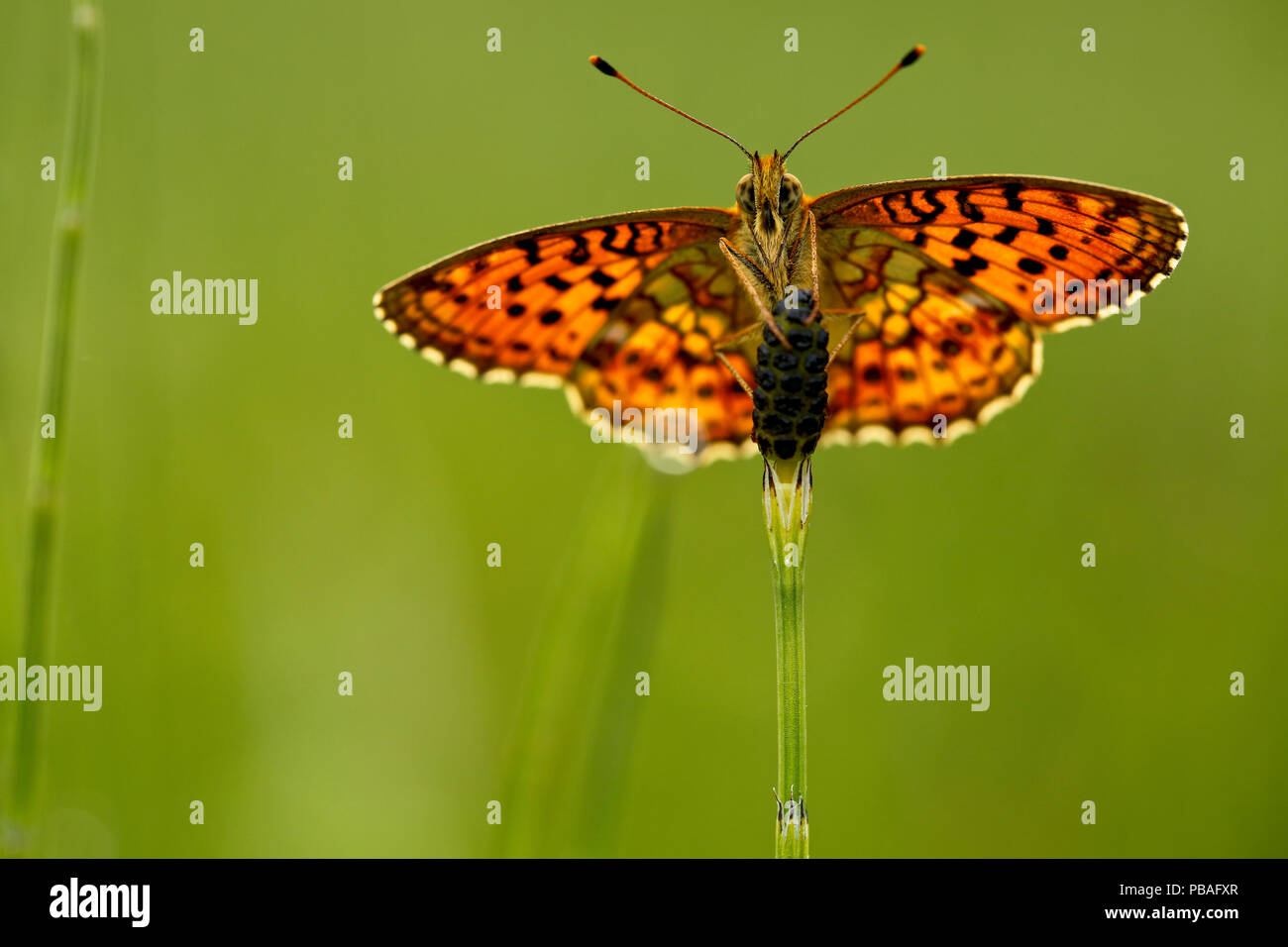 Lesser marbled fritillary butterfly (Brenthis ino), Haute-Savoie, France, June. - Stock Image