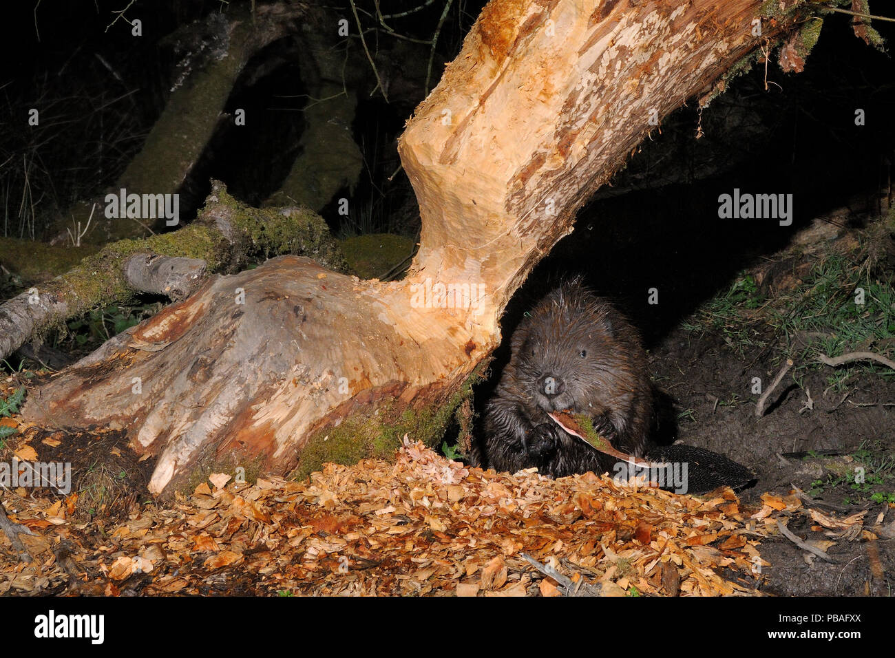 Eurasian beaver (Castor fiber) holding and chewing bark it has gnawed from the trunk of a Willow tree (Salix sp.) in a large woodland enclosure at night, Devon Beaver Project, run by Devon Wildlife Trust, Devon, UK, April. Taken by a remote camera trap. - Stock Image